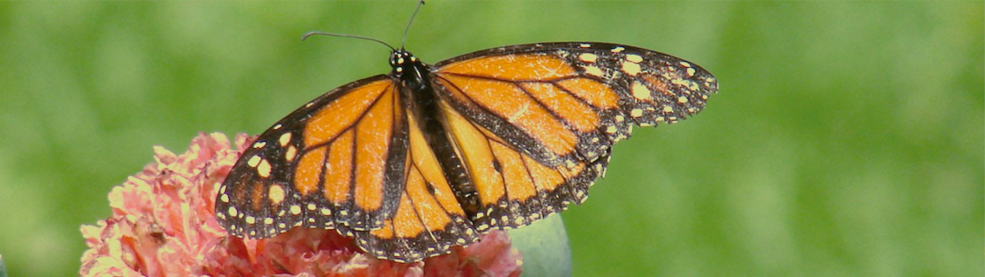 """BASF y GIZ presentan """"Alas para el Campo"""", iniciativa para la conservación de la mariposa Monarca y otros polinizadores"""